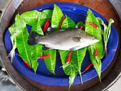 Barramundi Singapore aka Seabass (Kid's Choice)