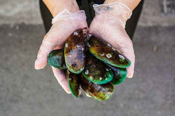 Live Greenlip Mussels (1KG)