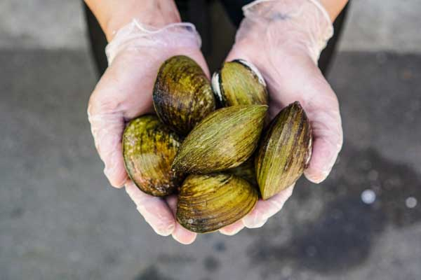 XL Sweet Clams (1KG)