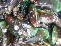 Live Mussels Singapore 1KG